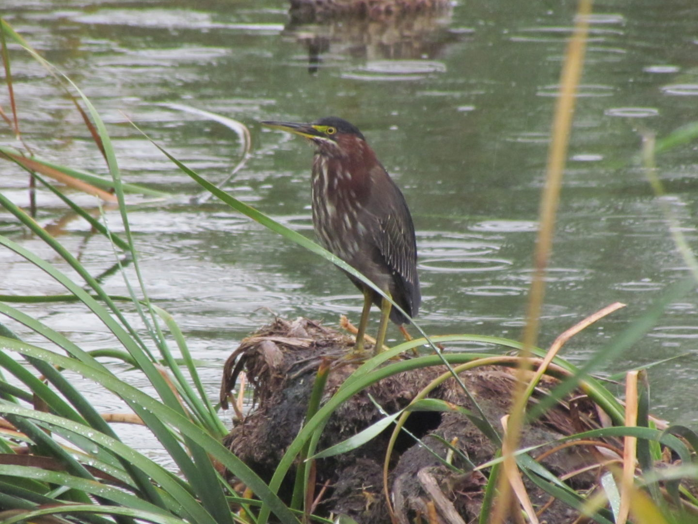 Green Heron standing on vegetation
