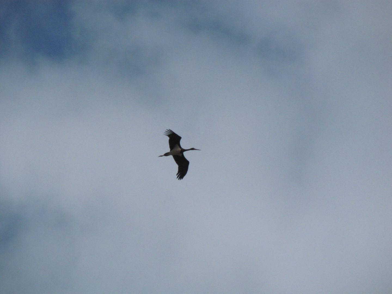 Black Stork soaring