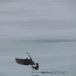 Storm-Petrel walking on water