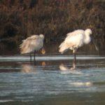 Spoonbills resting