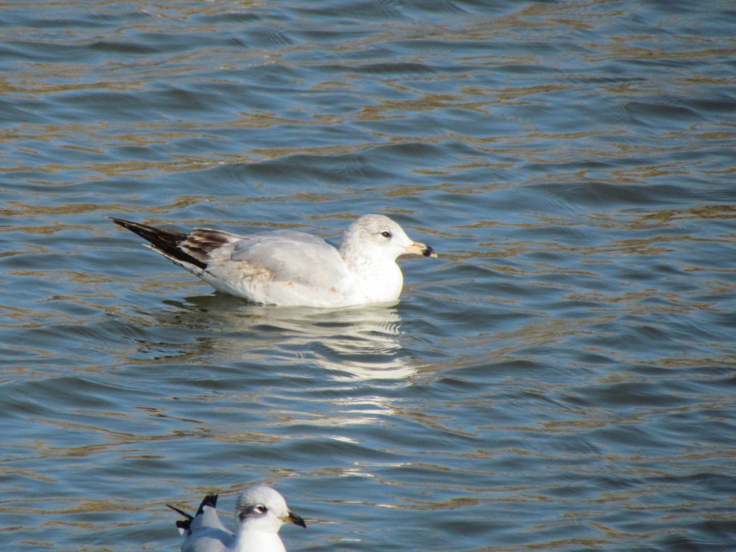 Gull on water