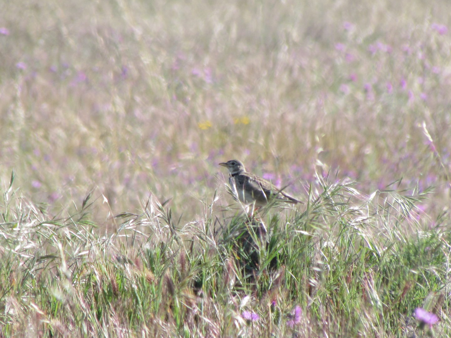 Calandra Lark sitting on grass