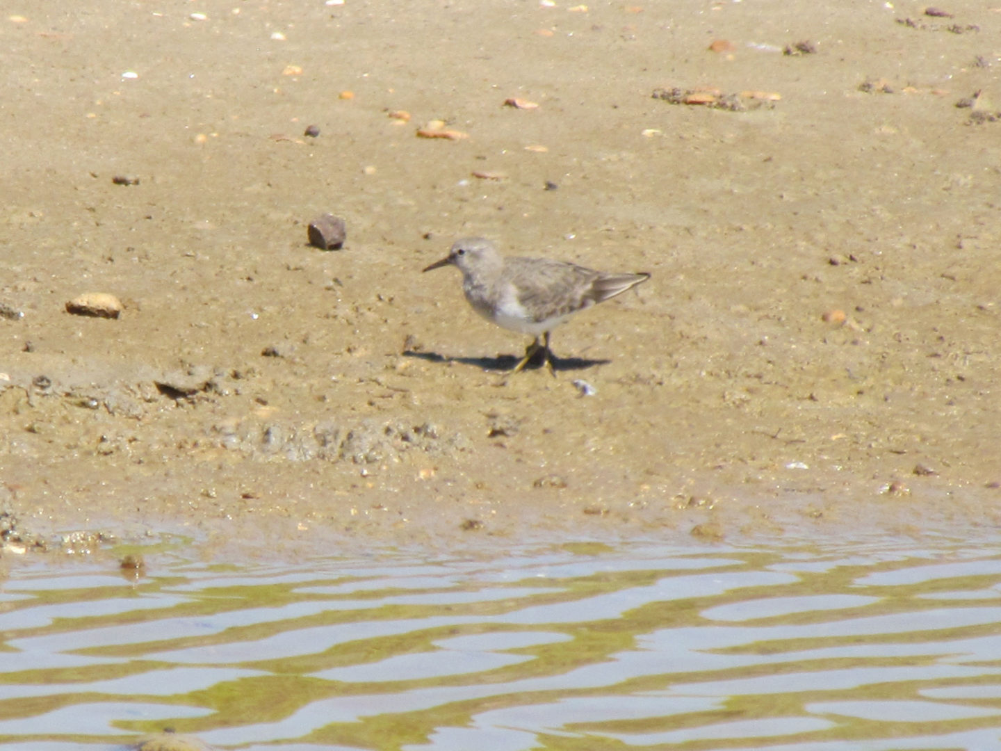 wader on mudflat