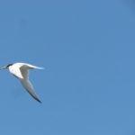 Little Tern flying