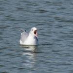 a yawning gull