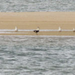 Common Eider and gulls