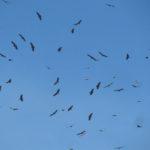 Griffon Vultures soaring