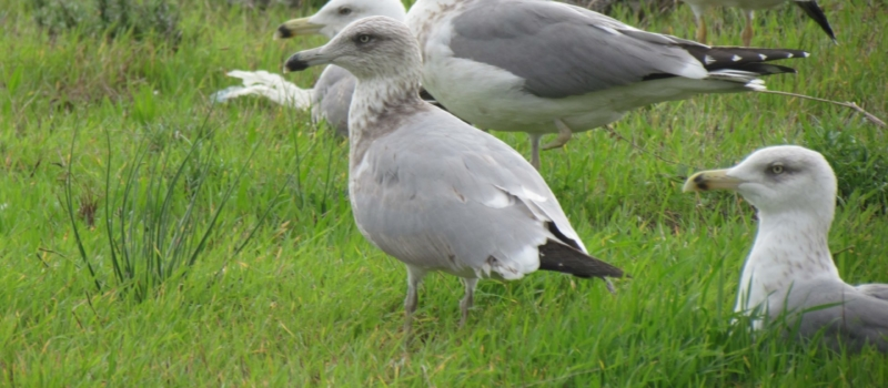 Amercian Herring Gull (Larus smithonianus) © G.Réthoré